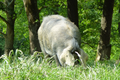 Elevage Grau, porc noir de Bigorre