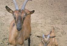 les chèvres du granier
