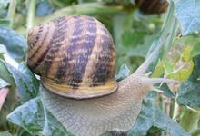 Les escargots de Cyril