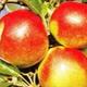 Nos pommes