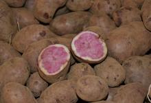 Pomme de terre Rouge des Flandres