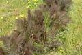 aneth feuilles BIO