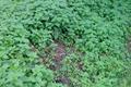 jeunes feuilles d'ortie piquante