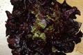 Salade Feuille de chêne rouge