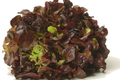 salade feuille de chene rouge