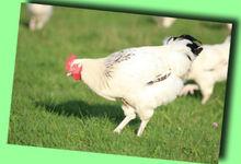 Poulets, Coqs et Poulardes