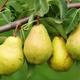Confiture de poires et safran du Jura