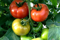 Grosse Tomate