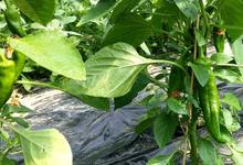 Poivron vert corne de boeuf