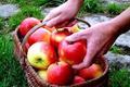 Vos Pommes