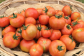 tomate ronde pleine terre