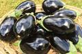 aubergines pleine terre