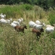 Cabrinou, la ferme de Falgayroles