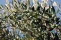 Huile d'Olive , Variété Tanches