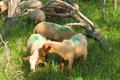 Les agneaux broutards Mourerous