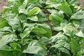 Epinard Bio en branche