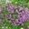 Thym serpolet Bio - le bouquet