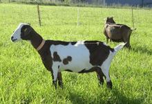 Mademoiselle Chèvre