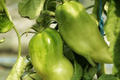 tomate cornues