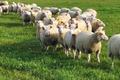 agneau race Charmoise