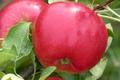 Pomme Scarlet O'Hara