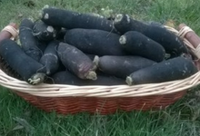 Radis Noir long