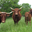 viande de jeune bovin, salers