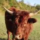 viande bovine salers