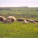 Agneaux biologiques (colis de demi-agneau)