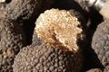 Truffe Ayme, la délicieuse truffe de France  TUBER UNCINATUM