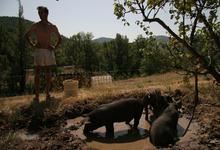 le cochon rustique des Baronnies