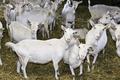 La Chèvre à Dorey