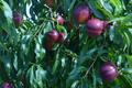 Nectarines Jaunes
