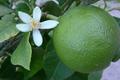 Lime de Tahiti