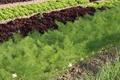 christian Icar, légumes bio