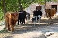 Viande Highland Cattle Bio