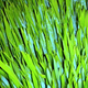 L'herbe de ble