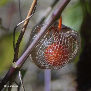 Alkékenge Fruit cage