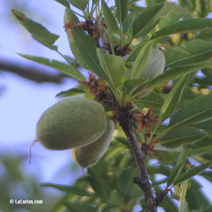 Amandier Fruit