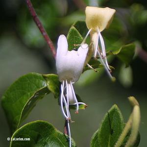 Chèvrefeuille des bois Fleur