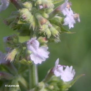 Cataire Fleur