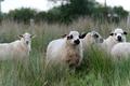 La viande d'agneau