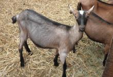 Les Chèvres de M. Martin