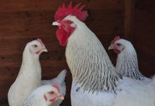 Poules et coq Sussex