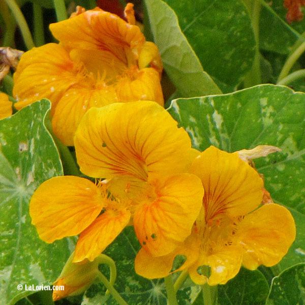 Capucine Les Plantes De La Lorien Les Plantes De La Lorien
