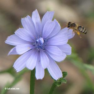 Chicorée sauvage Fleur