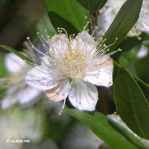 Myrte Fleur