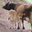 Vache de race Jersiaise de la ferme de Bellegarde