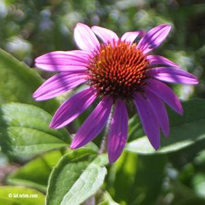 Echinacea Inflorescence