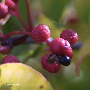 Poivre Sichuan Fruit mûr